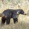 Coatimundi (Nasua narica)<br /> Pleasanton, NM