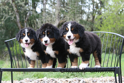 My Summer x Ellusion litter - one boy and two girls.  One girl remained here and is Rumor (Coburg Hills Something To Talk About).