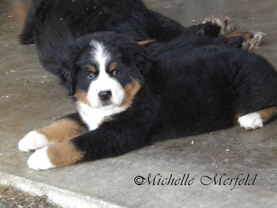 Mercy (Coburg Hills Show No Mercy) at 8 weeks old.  She was a singleton out of Liv x Abbot.