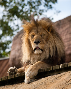 African Lion (Subu)