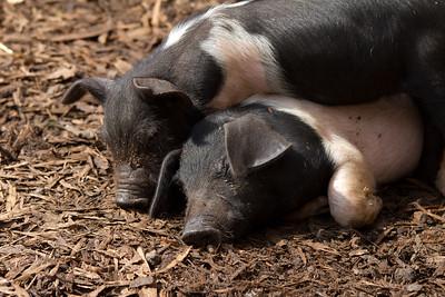Essex Pigs