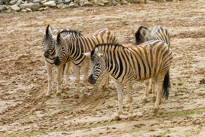 Damara Zebras
