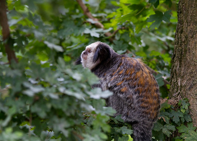 Geoffroy's Tufted Eared Marmoset