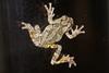 Maryland Frog