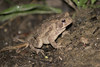 Toad in garden, night shot, internal flash, Sony A100, 300mm zoom.