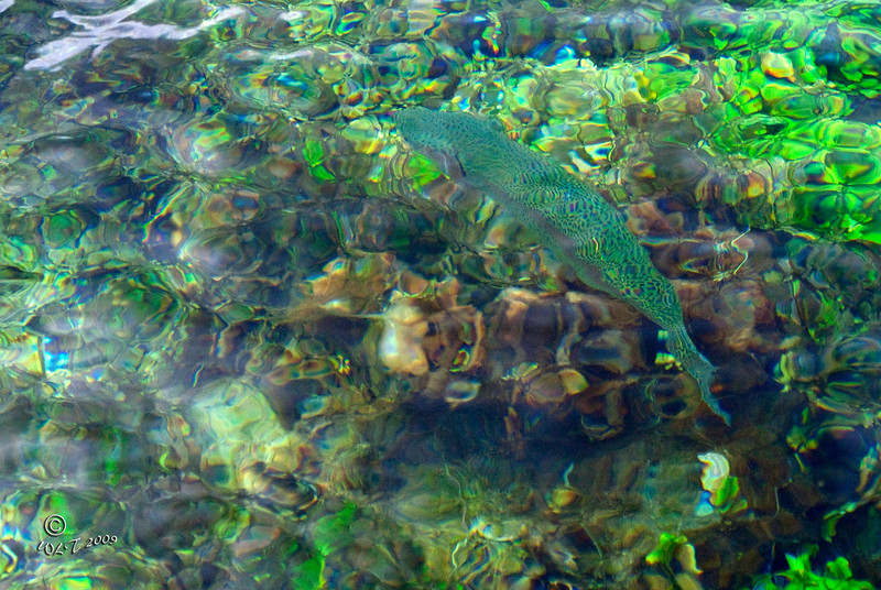 Rainbow Trout @ Giant Springs
