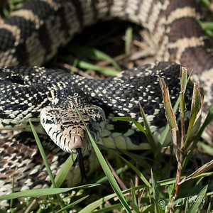 Eye Level With a Bull Snake