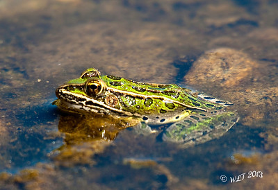Frog Along The Yellowstone
