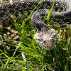 The Mimic A bull snake trying to pass itself off as a rattle snake by morphing its head into a classic triangle