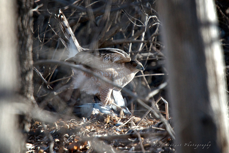 Sharp Shinned Hawk and it's prey.I felt bad for the pigeon but it is the way of nature....