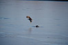 Just missed the otter and his fish!Not my best lighting or capture but sharing anyway because of the sheer magnificence of the eagle!