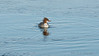 Female Merganser.