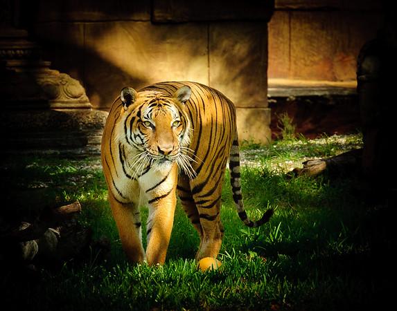 Tiger in Zoo Miami