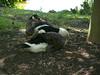 canadian geese sleeping