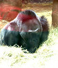 colo first gorilla born in captiv 1956