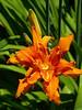 dark orange lily