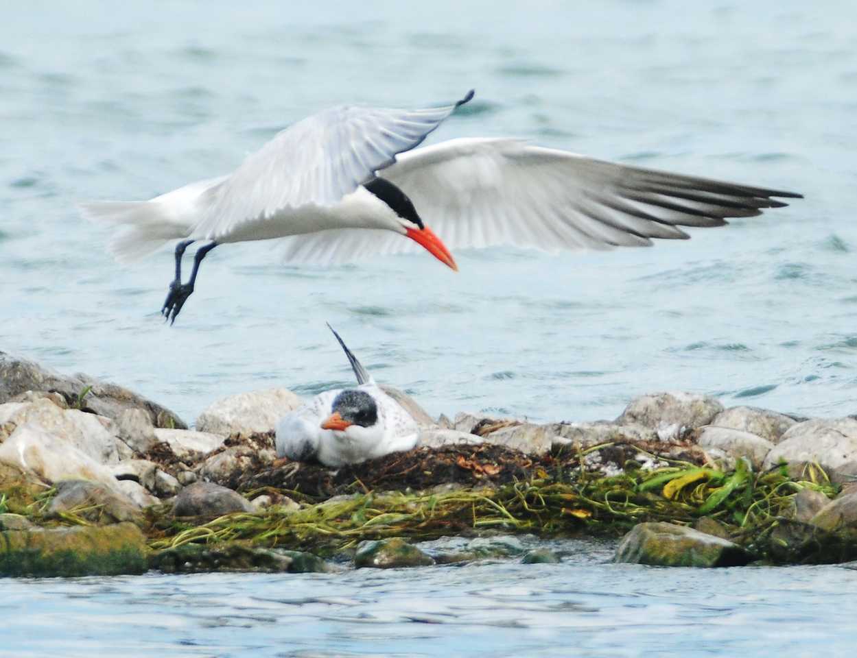 Jack Haley/Messenger Post Media<br /> A male Common Tern comes in to land next to what could be a female on eggs on the rock line off the City Pier on Tuesday.