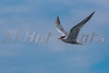 Common Tern's In Flight