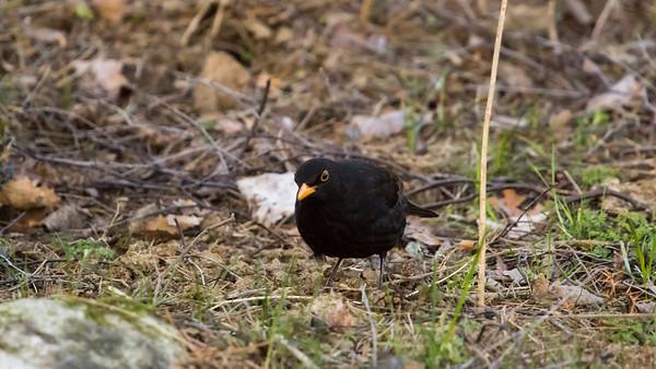 Common blackbird (Koltrast )