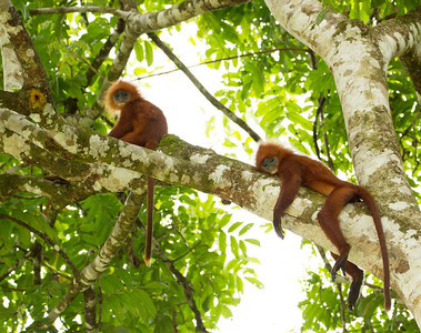 Red Leaf Monkeys