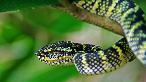 Malay Viper