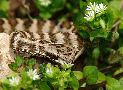 Mamushi Viper   (Lethally venomous) South Korea