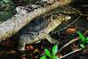 Six foot long Monitor Lizard,  Perhenthian Islands, Malaysia