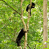 What's Better Than One Sun bear in a Tree?