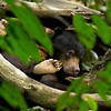 Sun bear beauty