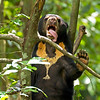 The smallest bears (sun bears) have the longest tongues!