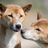 More New Guinea Singing Dogs. A duet.