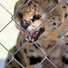 Serval. Stick your finger in this cage, and you'll draw back a nub!