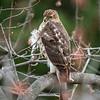 Hawk_backyard-16-Feb-17-6702
