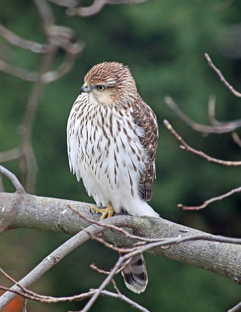 Coopers Hawk, Nov 12, 2013
