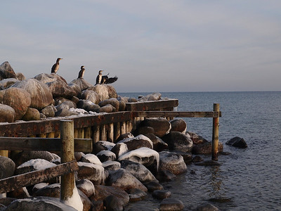 Cormorants on a winters day in Denmark. Photo: Martin Bager.