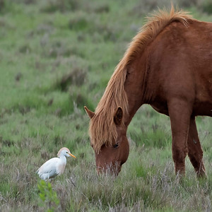 Cattle Egret and WIld Horse