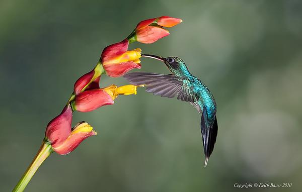 Green Hermit Hummingbird on a flower