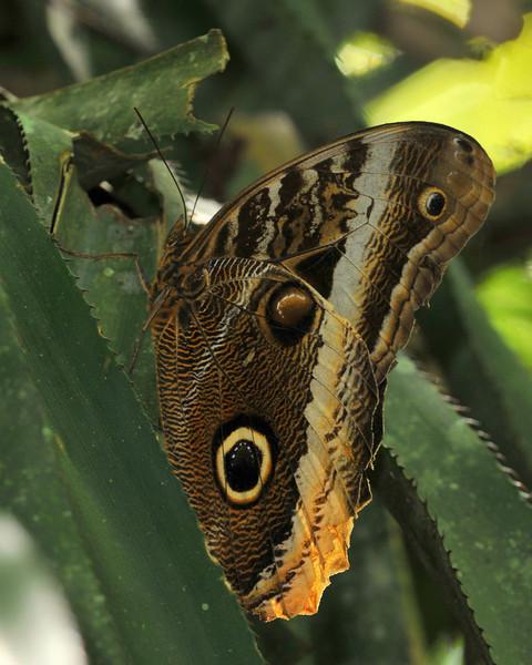 Magnificent Owl, Lankester Gardens