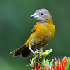 Passerini's Tanager, female