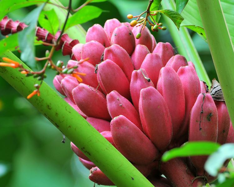 Red Bananas, not edible