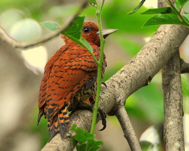 Cinnamon Woodpecker, female
