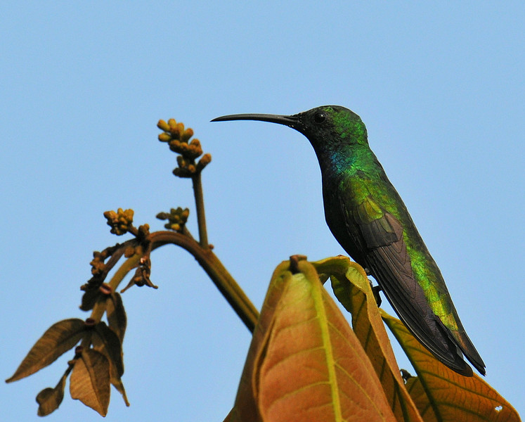Green-breasted Mango Hummingbird, male, Rancho Naturalista