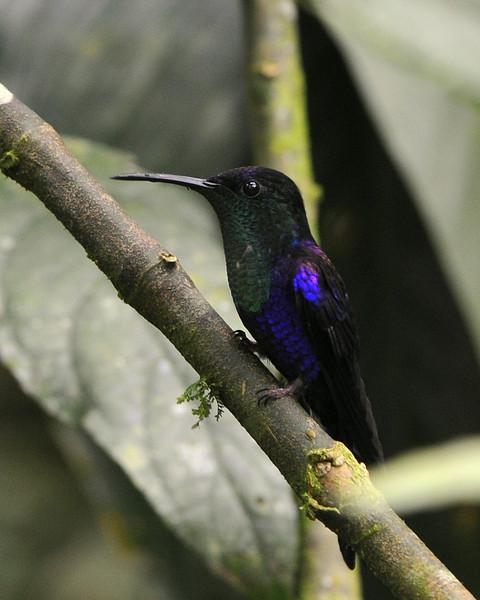 Violet-crowned Woodnymph