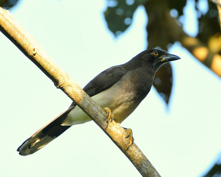Brown Jay, Rancho Naturalista, Costa Rica