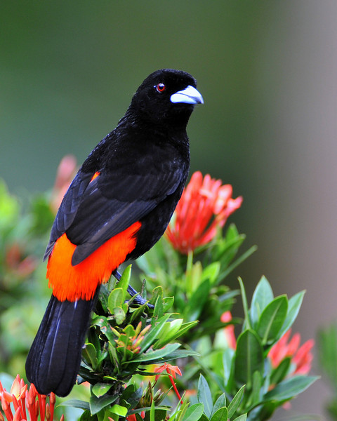 Passerini's Tanager, male