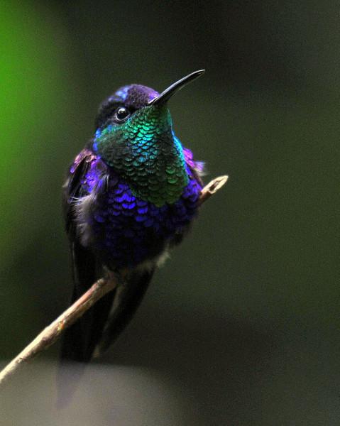 Violet-crowned Woodnymp