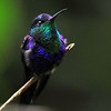 Violet-crowned Woodnymp