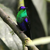Violet-crowned Woodnymph