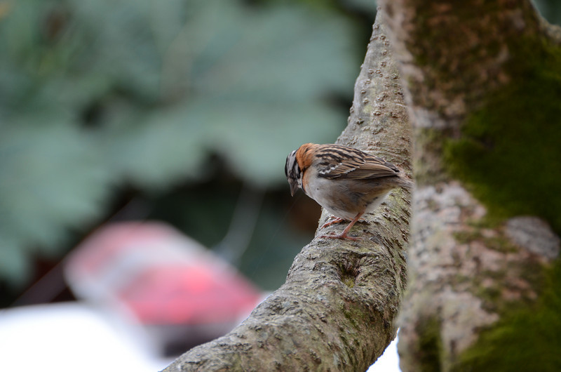 Three Stripe Sparrow