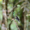on of the Emerald hummingbirds?